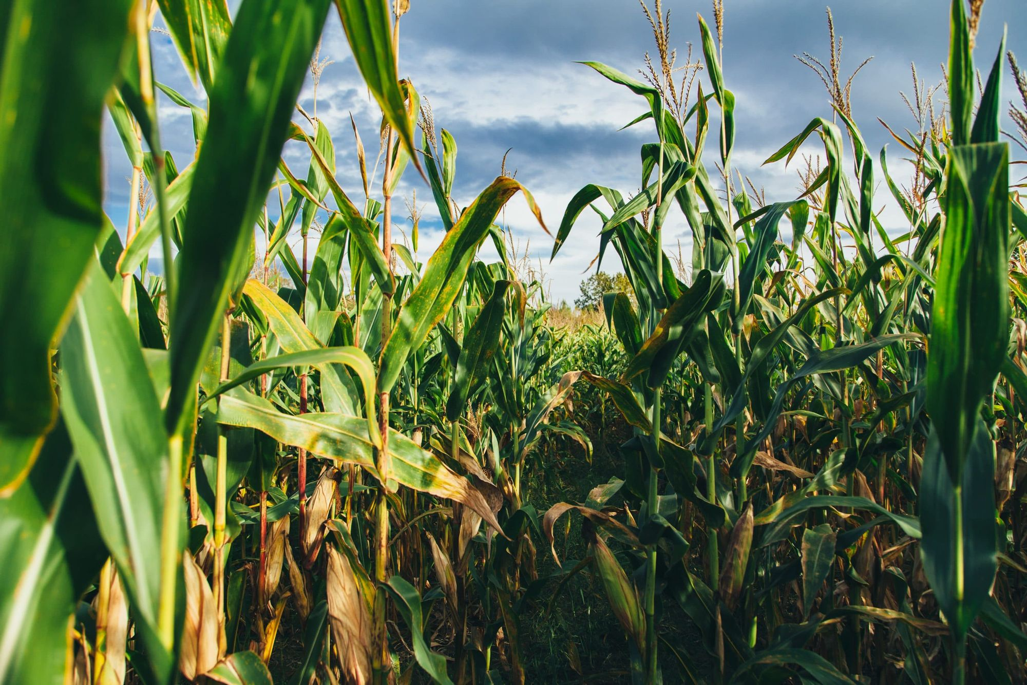 A field of corn, what the Sendle compostable mailer is ultimately made out of.